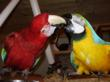 Photo courtesy of Foster Parrots