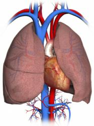 3D Medical Illustrations and Animations Heart and Lungs Image Nucleus Medical Media