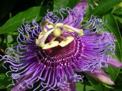 Passion Flower | Passion Flower Powder