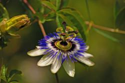Passion Flower Powder | Passion Flower Insomnia