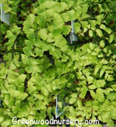 Maidenhair Ferns Shade Garden Plants