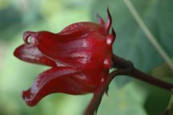 Hibiscus sabdariffa calyces