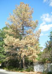 Pine wilt disease in Colorado