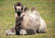 Bactrian Camel Calf