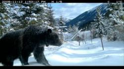 A scene from the 10 years of captured footage that makes up the Bear 71 multimedia documentary.
