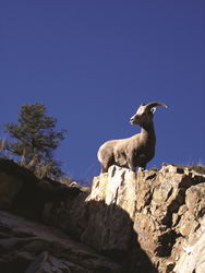 Wild Sheep Foundation expects record attendance at largest...