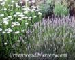 Greenwood Nursery Announces Its Annual 'Book Your Lavender Plants...