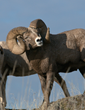 Wild Sheep Foundation Works With Agencies as Congress Directs USFS, BLM to Resolve Disease Transmission Issues for Bighorn Sheep