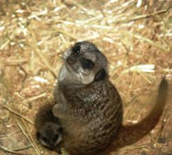 Baby Slender-tailed meerkat at the El Paso Zoo in behind the scenes exhibit.