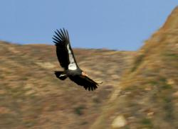 Captive bred condor #79 flys free over the Hopper Mountain National Wildlife Refuge