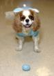 Diego, an adorable 4-year old Cavalier King Charles Spaniel, visits with residents of Harbor House 2-3 times a week.