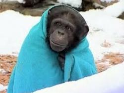 Chimp With a Blanket