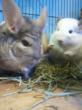 Two cute chinchillas enjoying their timothy hay