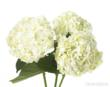 hydrangea, wedding hydrangea, wedding flowers, green wedding flowers