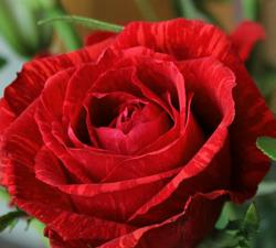 "ALT=""Valentine's red rose flower bouquet at Los Angeles Flower District California Flower Mall"""