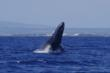 Star of Honolulu Cruises See Great Start to Whale Watch Season
