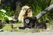 Gladys and Nikko, the Oakland Zoo's gibbon couple