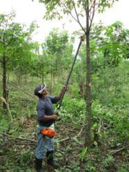 Photo of a Planting Empowerment employee pruning branches from a cedar tree