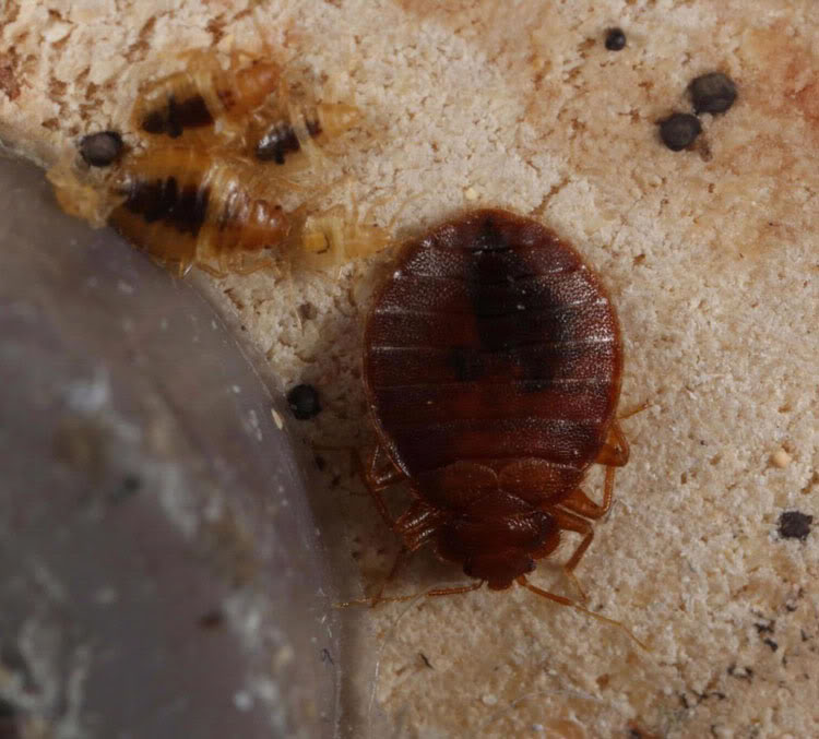 Unusual Method On How To Get Rid Of Bed Bugs Without