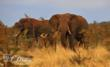 Tanzanian Elephants by Dawn Harman