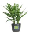 Aglaonemas are durable, versatile tropical foliage plants