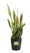 Sansevierias are commonly known as mother-in-law's tongue or snake plant