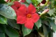 Suntory's new Sun Parasol Garden Crimson Mandevilla adds color to any garden