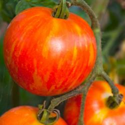 heirloom tomatoes are trending