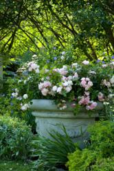 Easy-care Flower Carpet Appleblossom roses in container makes an simple but elegant landscape addition