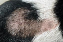 seasonal alopecia in dogs can be treated with light therapy