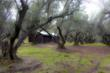Tents are set in a 100-year-old olive orchard.