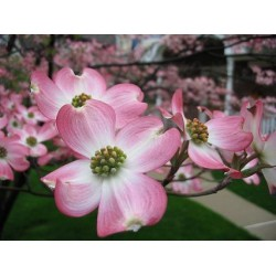 Image of a Dogwood Flower