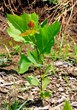 Sycamore seedlings