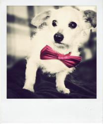 One of Muttville's Four Legged Models Looking Dapper in His Pink Bow Tie