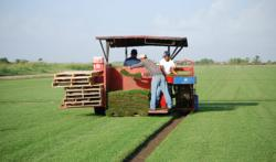 Austin sod grass harvested from The Grass Outlet's farm