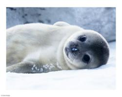Cute Baby Seal Animal | www.pixshark.com - Images ...