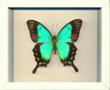Swallowtail Butterfly Frame