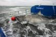 Great White Shark Lydia arrives on research lift of the M/V OCEARCH.