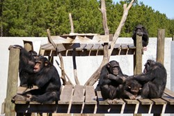 A photo of chimpanzees at Chimp Haven