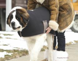 Samson, our beloved model pictured wearing The Chase Coat is a 8yr old male 160 pound St. Bernard and is a family member of Susan Dawson Comerzan