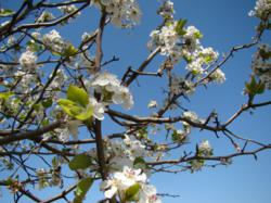 Springtime in Athens, Texas brings blooming trees and flowers, such as the Bradford Pear tree that is seen throughout the town.
