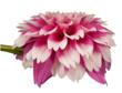 Dahlia from David Leaser