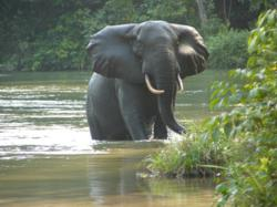 African forest elephant c The Aspinall Foundation