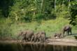 Young African Forest Elephants c The Aspinall Foundation