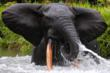 The Aspinall Foundation helps to protect African forest elephants