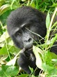 Young mountain gorilla peers out from jungle foliage on Africa Adventure Consultants safari © Gretchen Healey/Africa Adventure Consultants
