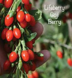 Big Lifeberry Goji Berry Plant