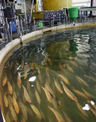 Land-based closed-containment farming of Atlantic salmon