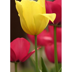 Image of Tulips In Boom