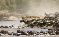 Wildebeests migrate across the Serengeti during the Great Migration